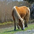 Island Pony by Monte Morton