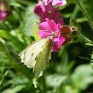 cabbage white resting by monkeyferret