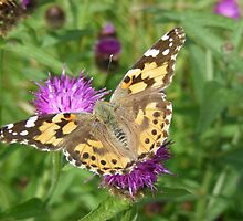 Painted Lady at Rievaulx Terrace by monkeyferret