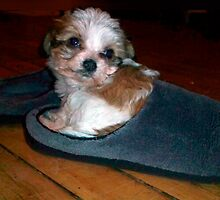 Cavachon puppy sitting in a slipper. by graphicdoodles