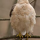 Cooper's Hawk by Daniel  Parent