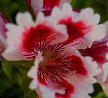 Geranium Macro 2 by photojeanic