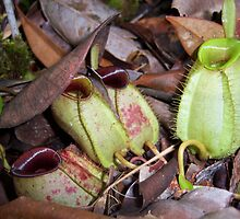 The Ingenious Pitcher Plant  by kigglesj