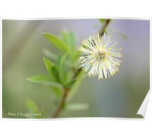 Blown pussywillow Salix Poster
