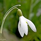 Graceful  snowdrop arches  by pogomcl