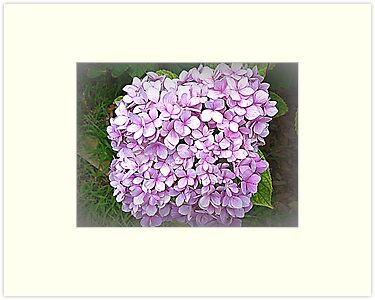 Many small - lovely big Hydrangea by EdsMum