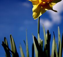 Single Daffodil in the Blue by Lynn Ede