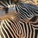 Zebra Stripes by Pamela Jayne Smith