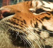 Tiger Chin - Colchester Zoo by MichelleRees