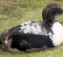 male eider by rhallam
