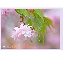 Cherry blossom A Photographic Print
