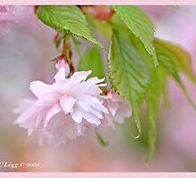 Cherry blossom B by pogomcl