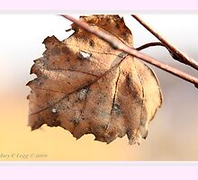 White birch leaf Betula papyrifera B by pogomcl