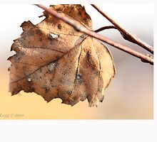 White birch leaf Betula papyrifera C by pogomcl