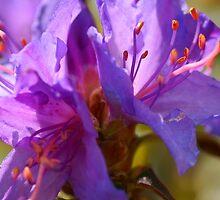 Purple Spring by walstraasart