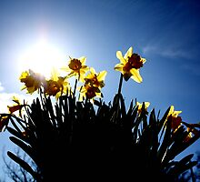 Host of Golden Daffodils by Lynn Ede