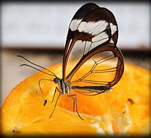 Glass wing Butterfly (Greta Oto) by Shehan Fernando