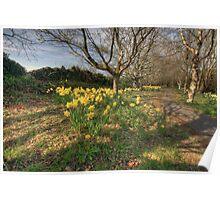 Daffodil path Poster