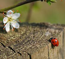 Ladybird on the Way Home by roskolewis