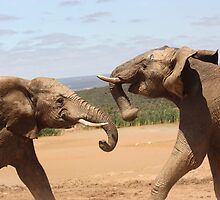 Two Young Elephants Fight It Out. by roskolewis