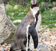 penguin 6 by rhallam