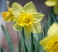 Bright Yellow Daffodil in Spring by AnviPhotography