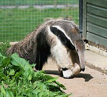 Anteater by rhallam