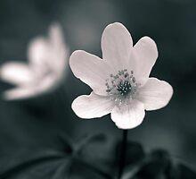 anemone by Streichelweich