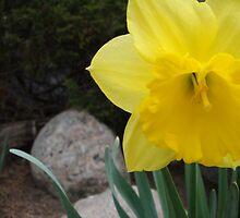 Contrast (1)- Daffodil by chloebegg