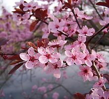 Wild Cherry Blossoms by Dandelion Dilluvio