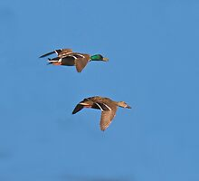Two Mallards by noffi