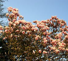 Magnolia Tree by Detlef Becher