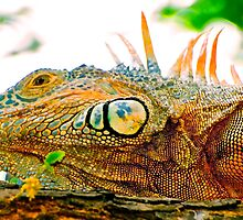 Iguana in Sayulita, Mexico by Jessica Karran
