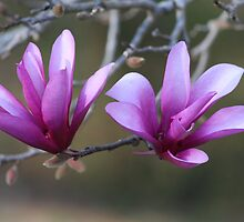 Flowering Japanese Magnolia Tree by DebbieCHayes