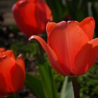 Red Tulips by Colleen Drew