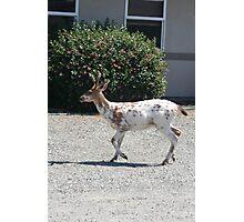 """Albino Deer"" Photographic Print"