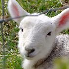 Little Lamb by Kassey Ankers