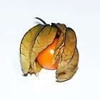Physalis by Marilyn O'Loughlin