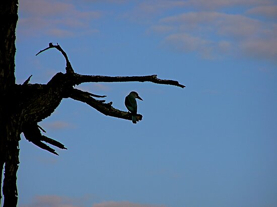 patient kingfisher in the early evening by mamba