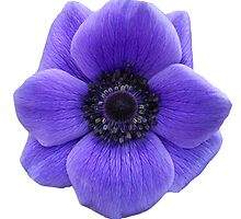 Anemone De Caen flower print by Anita Hunt