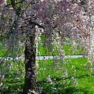 Blossom Tree, Berks County, PA, 2010 by Lisa Brower