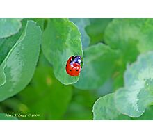 Ladybird on clover is double luck Photographic Print