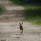 Trail Riding Dog  by saltbushbill