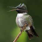 Rubythroated Hummingbird in Kingfisher Pose  by Gary Fairhead