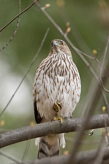 Coopers Hawk on Guard by Daniel  Parent