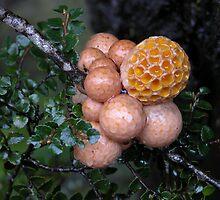 Orange Beech Fungi, Cradle Mountain, Tasmania, Australia. by kaysharp