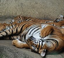 Nappy Time - Malayan Tigers by Kathy Newton