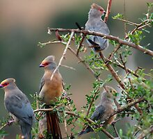 Redfaced Mousebird - Addo National Park by Carel du Preez