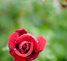 Red Rose by biggbird