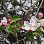 Apple Blossom by Marlene Piccolin